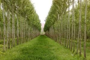 پساب برای توسعه زراعت چوب